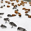 Ducks and swans on snow — Stock Photo