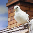 Pigeon on a roof — Stock Photo
