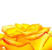 Bud of an orange rose close up — Stock Photo
