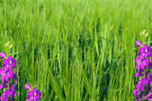 Background in the form of young green wheat and violet flowers — Stock Photo