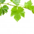 Beautiful background in the form of a young grapevine — Stock Photo