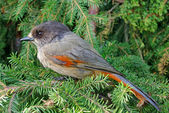 Siberian jay — Stock Photo