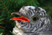 Portrait of a cuckoo — Stock Photo