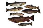 Fish Salmon — Stock Photo
