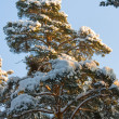 Snow On A Fur-tree — ストック写真