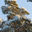 Snow On A Fur-tree — Foto de Stock