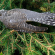 Cuckoo — Stock Photo #4626219