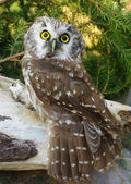 Owl (Aegolius funereus) — Stock Photo