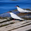 Pair of common Terns — Stock Photo