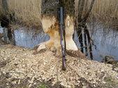 Lov bobra — Stock fotografie