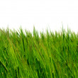 Grass isolated — Stock Photo #5168184