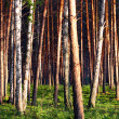 Pine forest view - Stock Photo