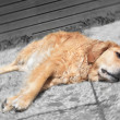 stressé, malade chien golden retriever — Photo