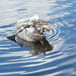 Young swan preening its feathers in pond — Stock Photo