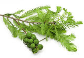 Bald Cypress Cones and Leaves — Stock Photo