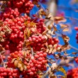 Ripe mountain ash on an autumn tree - Foto Stock