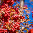 Ripe mountain ash on an autumn tree - Stock Photo