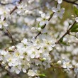 Cherry blossom flowers in spring — Stock Photo
