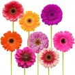 Gerbera flower collage isolated on white background - 图库照片