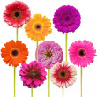 Gerbera flower collage isolated on white background - Stock Photo