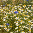 Field with cornflowers and camomiles — Stock Photo