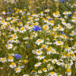 Field with cornflowers and camomiles - Stock Photo