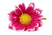 Chrysanthemum flower isolated on white background — Stock Photo