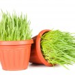 Green grass in a pot isolated on a white background — Stock Photo #5269341