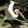 Bird a pelican — Stock Photo