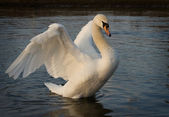 Swan bird — Stock Photo