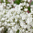 Small white flowers — Foto Stock