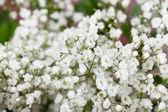 Small white flowers — Stock Photo
