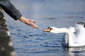O cisne branco — Fotografia Stock