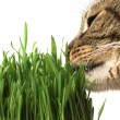 Cat eating grass - Stock Photo