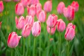 Pink tulips — Foto Stock