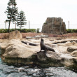 Stock Photo: Sealions
