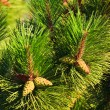 Stock Photo: Branches of the fir-tree