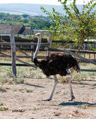 Male ostrich — Stock Photo