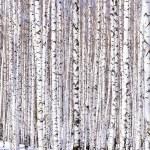 Winter birch forest — Stock Photo #4521596