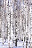 Winter birch forest — Stock Photo