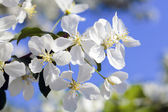 Apple tree flowers on the blue sky background — Stock Photo