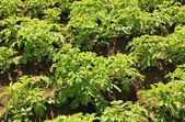 Potato field with young potato plants on sunny day — Stock Photo