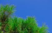 Branches of the pines against the blue sky. Background. — Stock Photo