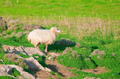 Ram on a rock in the middle of green meadows — Stock Photo