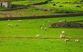Домашнего скота на деревни зеленый луг — Стоковое фото