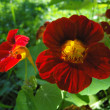 Flowers of nasturtium (Tropaeolum L.). — Stock Photo