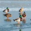Ducks - Stock Photo