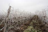 Winter grapeyard — Stock Photo