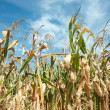Corn field — Stock Photo #4396205