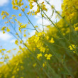 Royalty-Free Stock Photo: Rapeseed